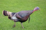 wild-turkey-morro-bay-state-park-7283w20pc